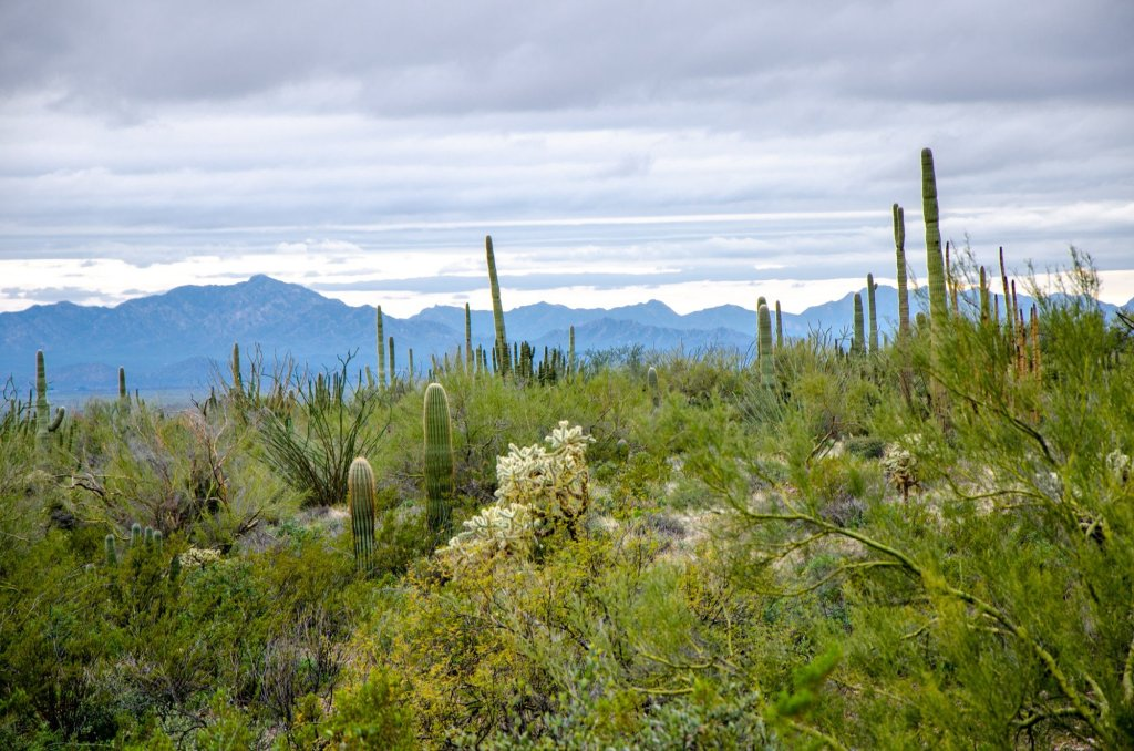 The green desert is shown at Organ Pipe Cactus National Monument