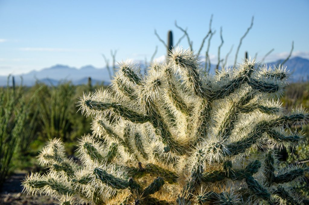 Cholla are shown at Organ Pipe Cactus National Monument