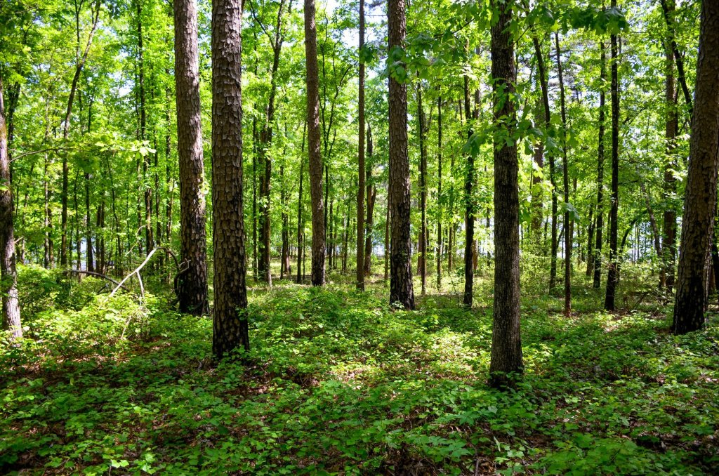 The understory is shown along the Towering Pines Trail while hiking at DeGray Lake State Park