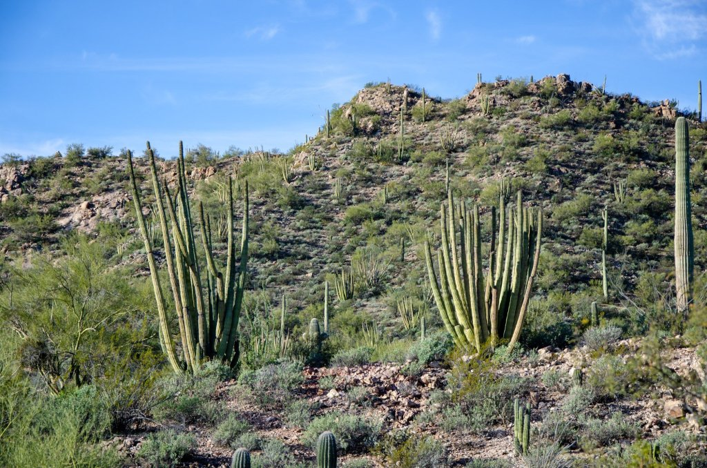 Organ Pipe Cactus are shown on hill sides