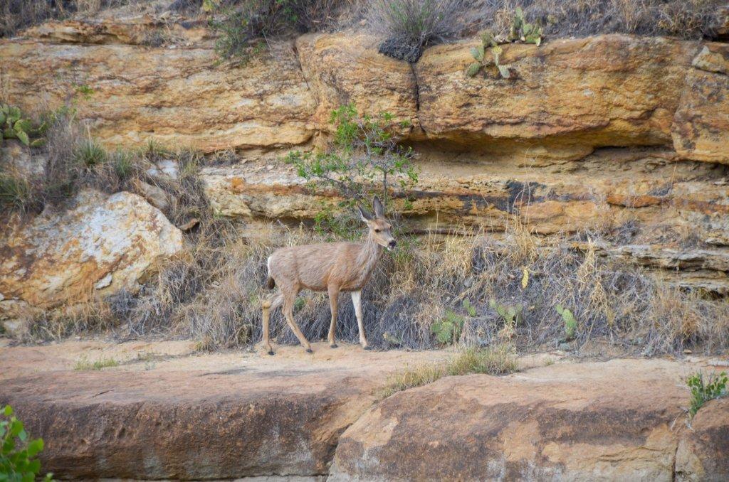 A mule deer is shown at Black Mesa State Park