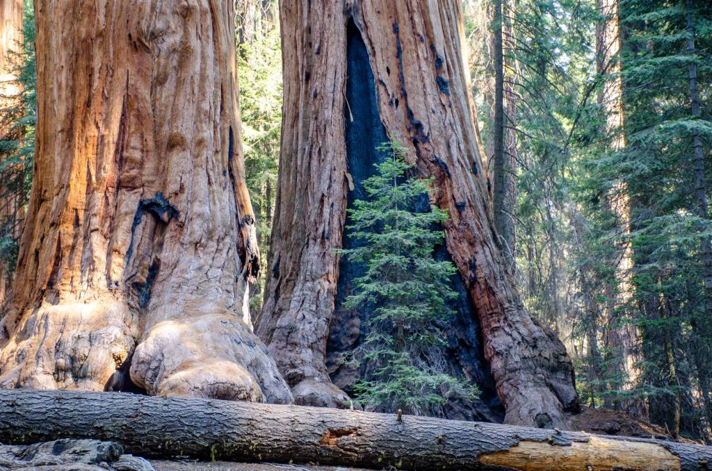 Sequoia Trees are shown