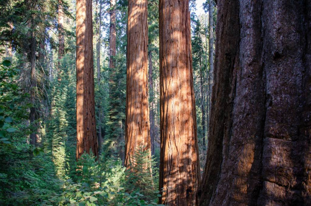 Giant sequoia are shown along the Hart Tree Trail