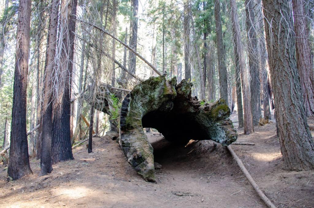 Hiking through a fallen sequoia on the Hart Tree Trail