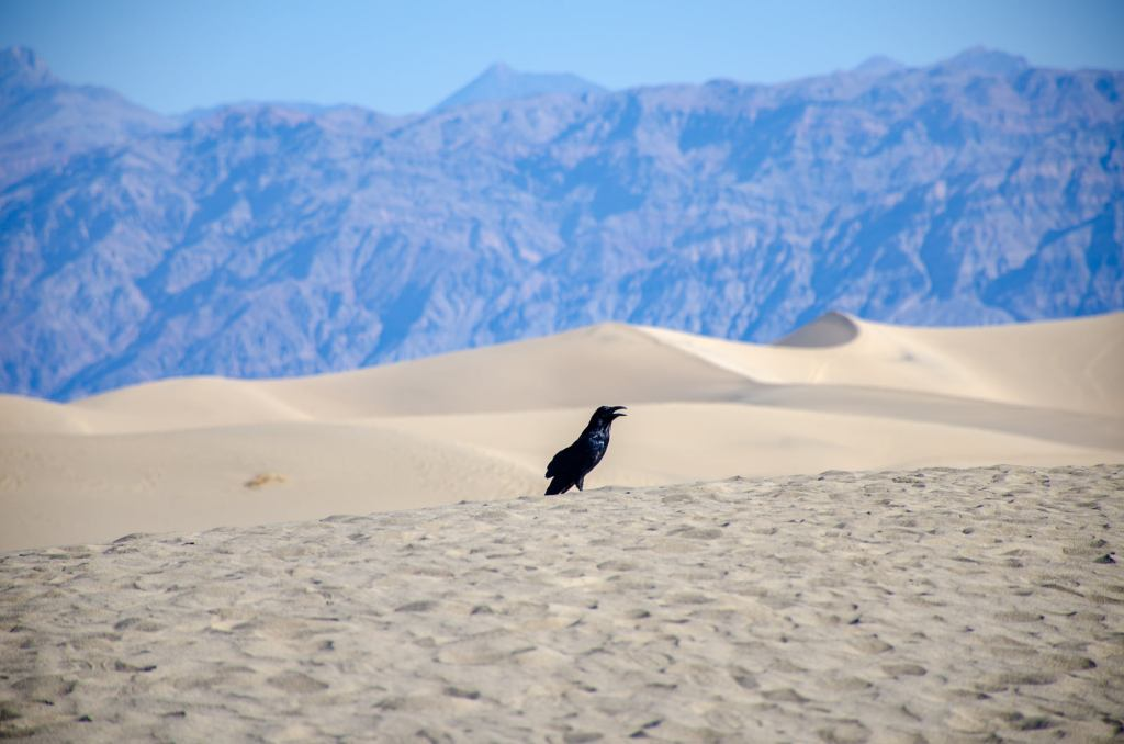 A crow pants in Death Valley National Park in the summer heat