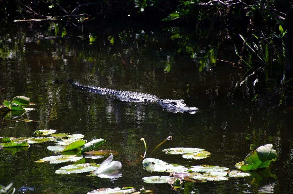 An alligator floats along
