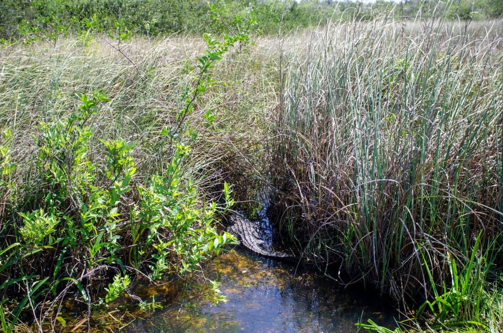 an alligator rest in the saw grass
