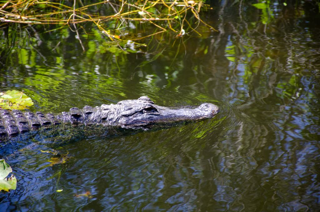 An alligator is shown at Shark Valley