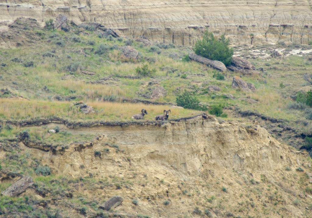 Bighorn sheep are shown in Theodore Roosevelt National Park
