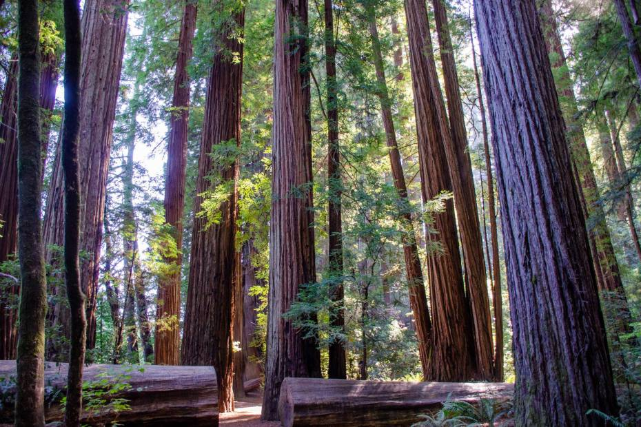 Tall Redwoods are shown