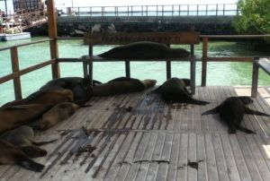 Sea Lions at Puerto Villamil dinghy dock. (photo by Bryce)