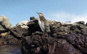 """Galapagos penguin stands unfettered by our gawking at his extreme """"cuteness."""""""
