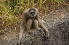 Dark-handed or Agile Gibbon, Island of Sumatra, Indonesia.