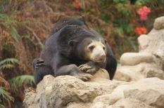 Indonesian Sun Bear