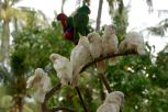 Sulpher Crested Cackatoos