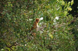 Young female proboscis monkey