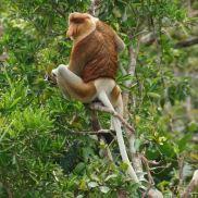 Dominant male proboscis monkey.