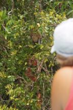 Leslie Rigney catching a glimpse of a female proboscis monkey and baby.