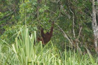 Orangutan male isolated in the jungle