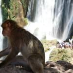 Ouzoud Wasserfälle und Berberaffen