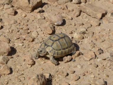 Pisten-Schildkröte