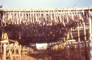 Stockfischproduktion