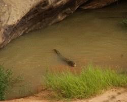 0860_Mauretanien_Krokodil