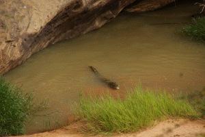 """Guelta mit """"freundlichen"""" Wüstenkrokodilen bei Ayoun"""