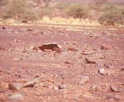 Tiere in der Wüste -eine Agame-
