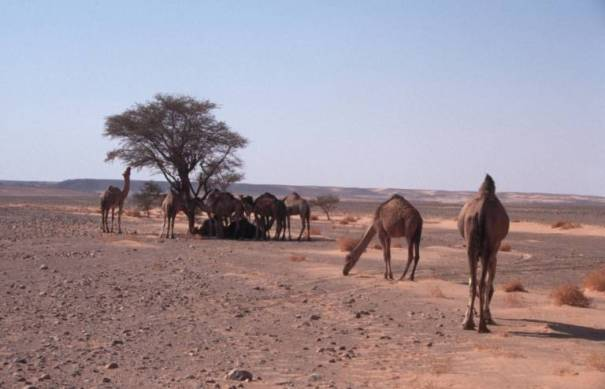 Kamele auf dem Weg nach Al Fogatha