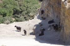 Ziegen auf der Schotterpiste nach Koudouras
