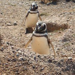0032178_Magellan-Pinguine_Valdes