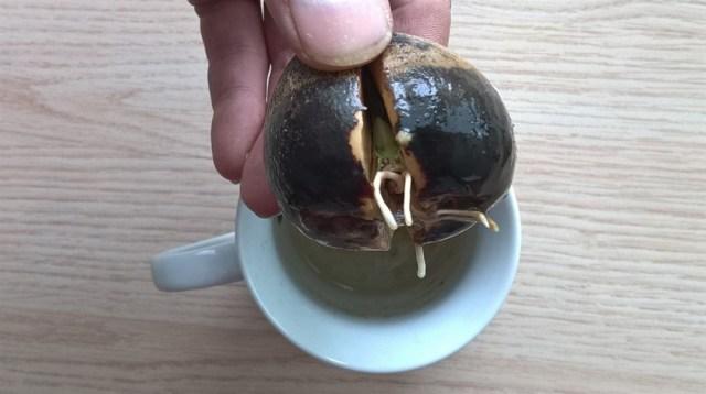 avocado pit laten groeien (3)