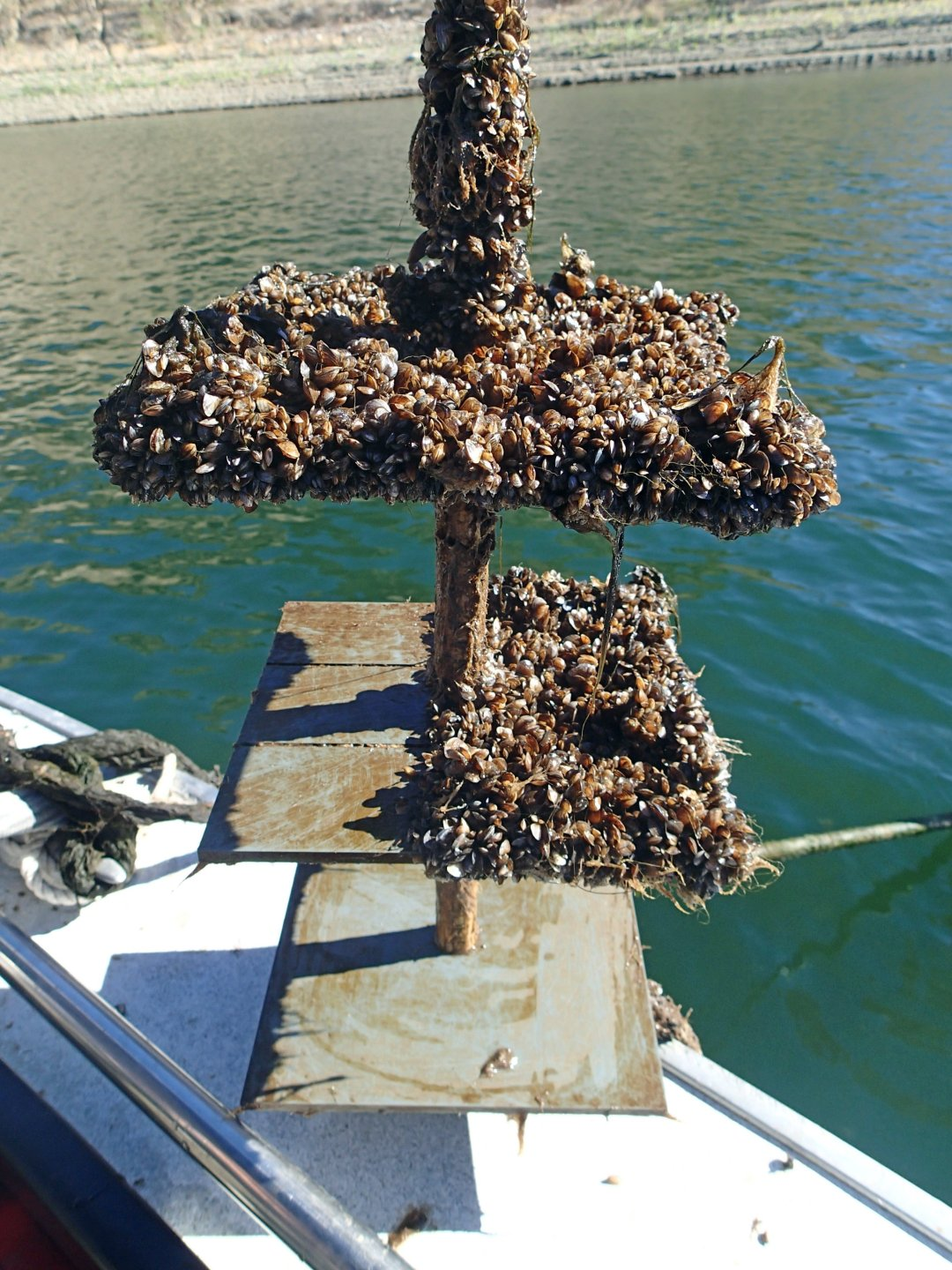 Quagga mussels stuck onto an anchor of a boat.