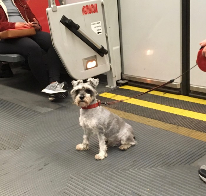 A small terrier sitting on a Muni train