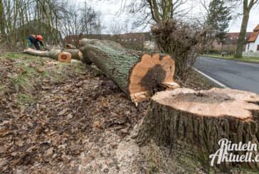 Bäume müssen weg: Hier kommt die Säge zum Einsatz