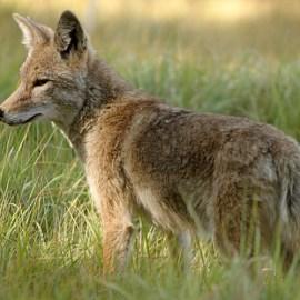 Photo of coyote