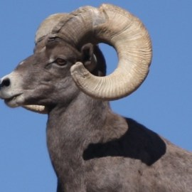 Pajarito Group: Where are our bighorn sheep?