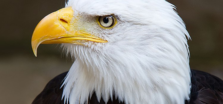 Bald eagle photo for the Sierra Club Rio Grande Chapter website