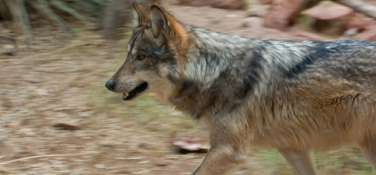 Victory! U.S. Fish & Wildlife to release Mexican wolves in N.M.