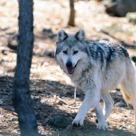 Photo of gray wolf