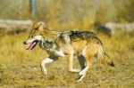 Tell U.S. Fish and Wildlife to fix its plan for wolf recovery