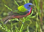 painted-bunting-small