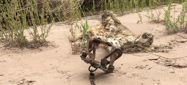 As NM trapping season ends, awful incidents spotlight need for reform