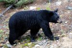 Bear talk at PEEC - October 19