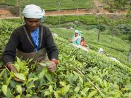 Workers pick leaves from tea plants growing on hillsides