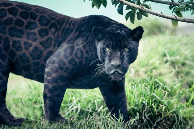 Are Black Panthers Really A Separate Species? - Ripley's Believe It or Not!