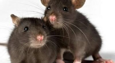 BENUE: 2 pregnant women, 1 other lost to Lassa fever —Commissioner