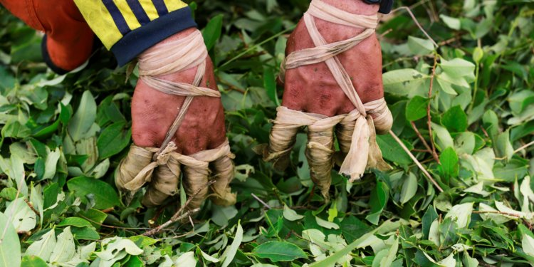 Can Colombia Legitimize its Coca Trade?