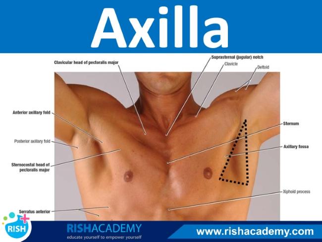 axilla (1)